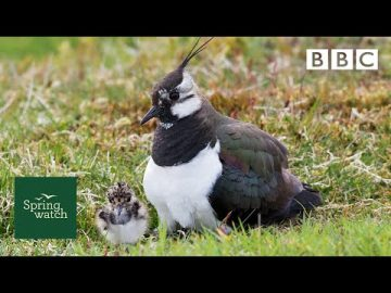 Our spring wildlife webcams live! 🐤🦊🐿 - Wed 3 June - Springwatch - BBC